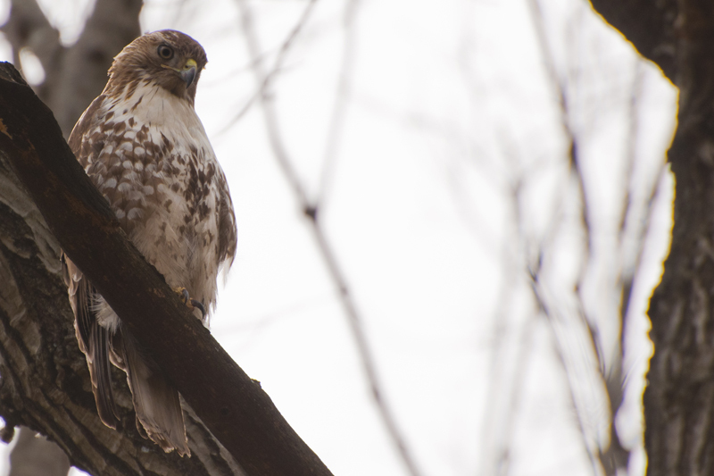 Red Tail Hawk at Cold Spring Park
