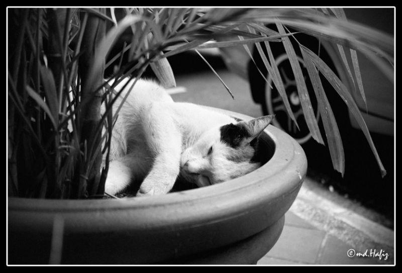 Sleeping Cat by md.Hafiz