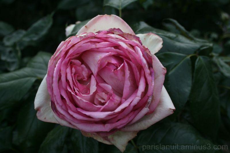 Et rose elle vécut