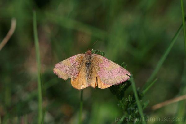 Papillon duveteux