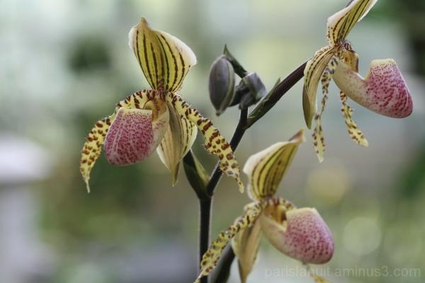 Orchidées (7)
