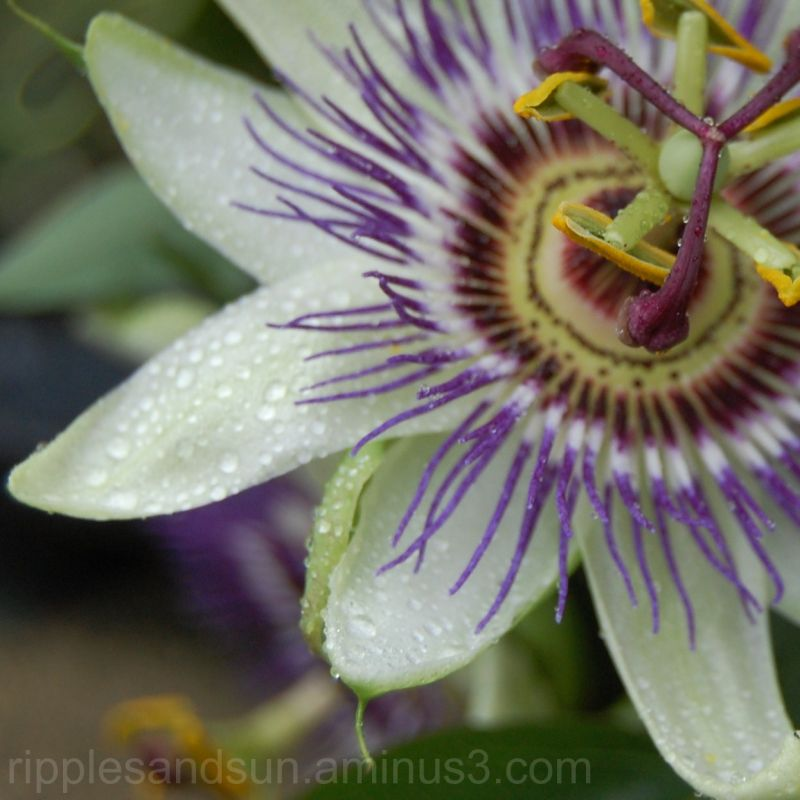 passionflower in the morning