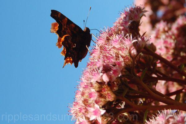 rusty butterfly
