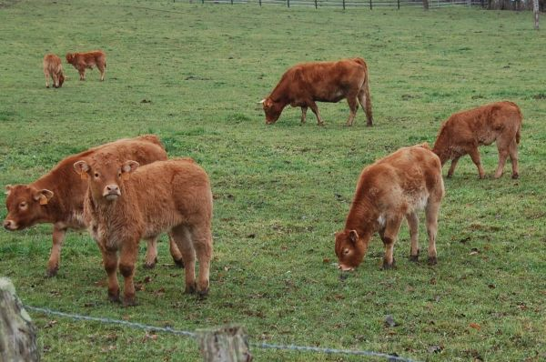 teenagers - bovine style