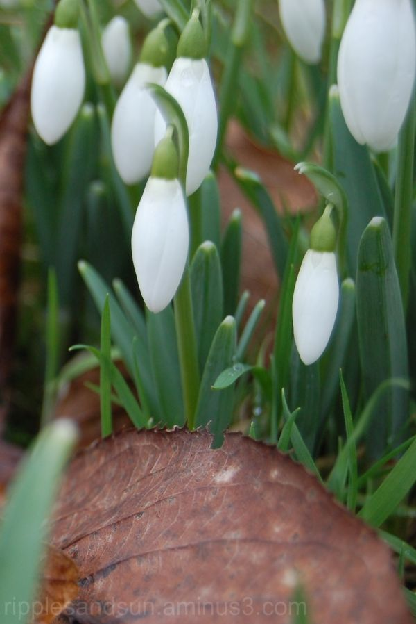snowdrops and leaf