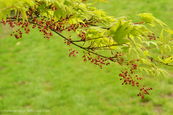 first Japanese maple blossom