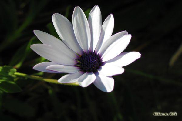 Margherita africana bianca