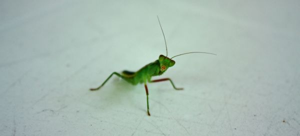 Young Preying Mantis