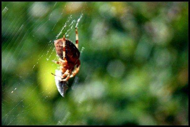 Spider on web, Autumn