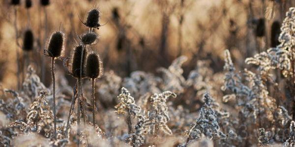 November Teasel and Goldenrod