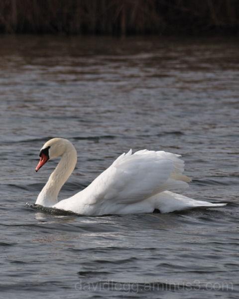 Swan on Windy  Marsh