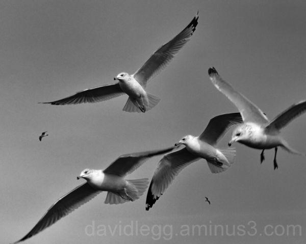 Marsh Gulls 1 Black & White
