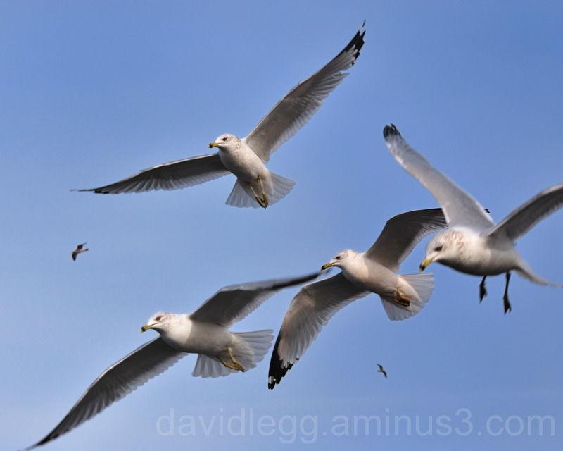 Marsh Gulls 1