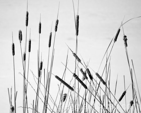 Cattails in Winter