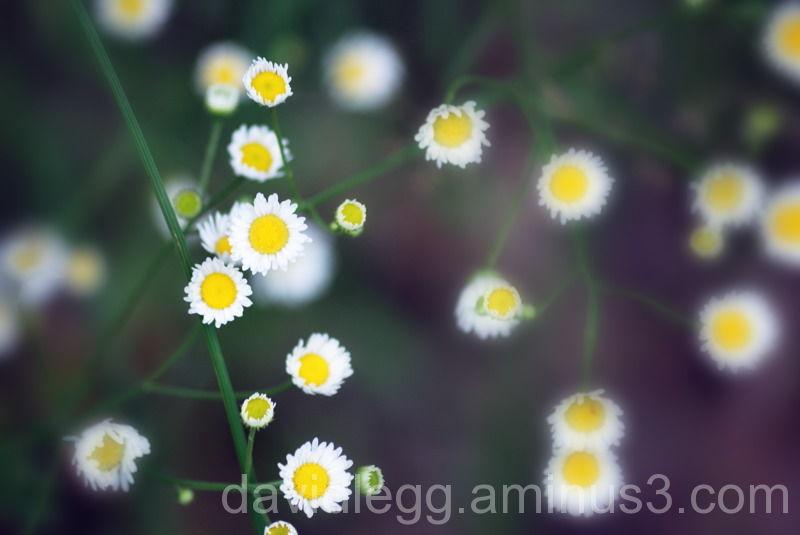 Daisy Fleabane 1