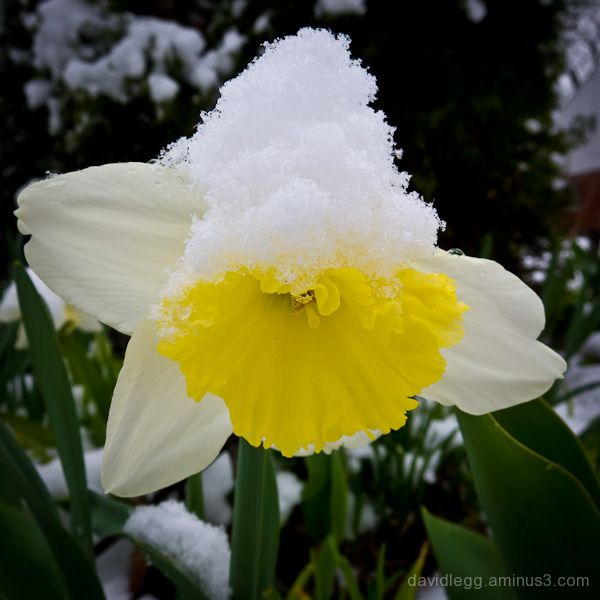 Spring Snow (Narcissus)