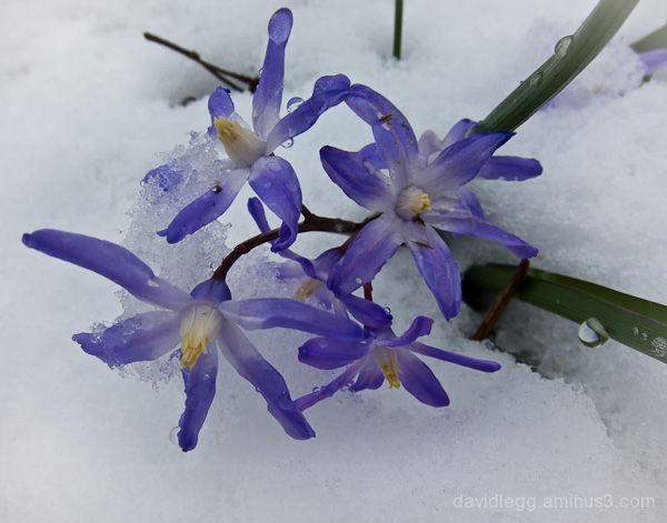 Spring Snow (Chinodoxa)