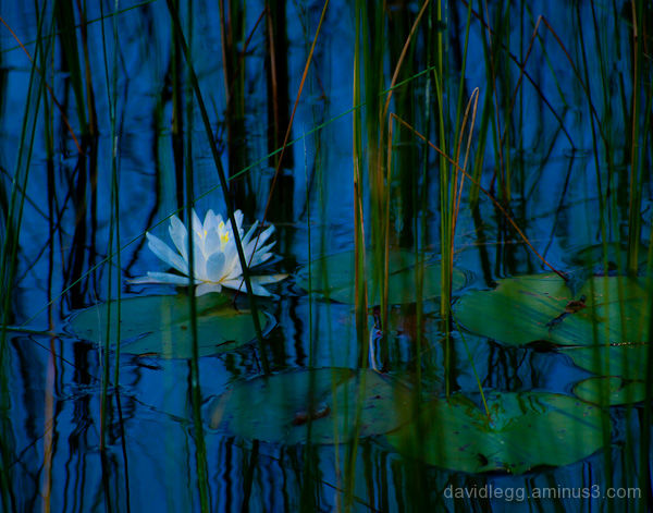 Water Lily and Reeds