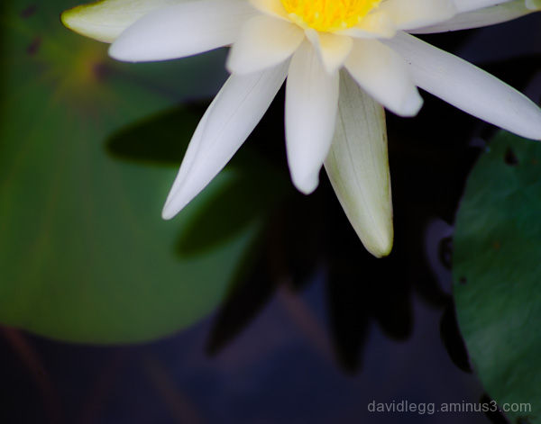 Water Lily Dream