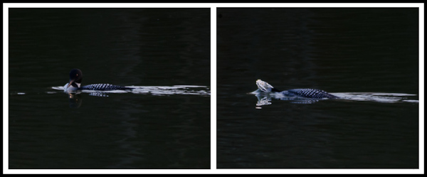 Diving Loon Diptych