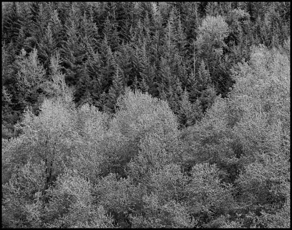 Forest, Mendenhall Glacier