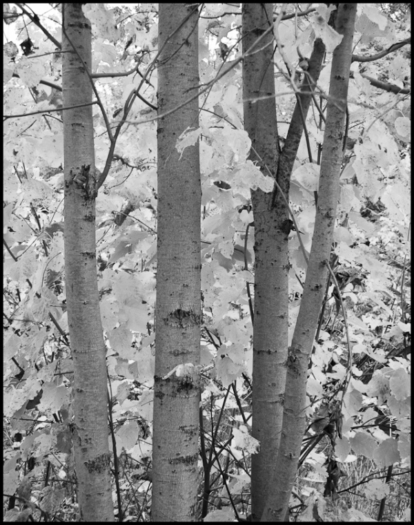 Aspens, Autumn