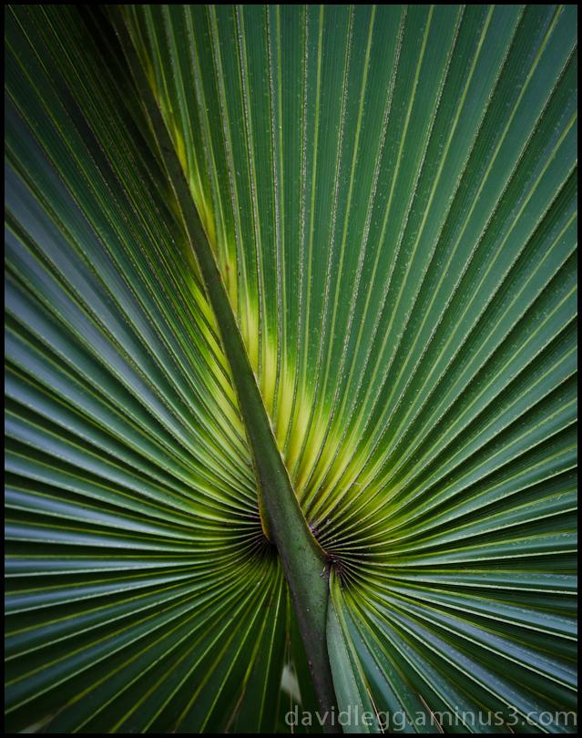 Palmetto Leaf