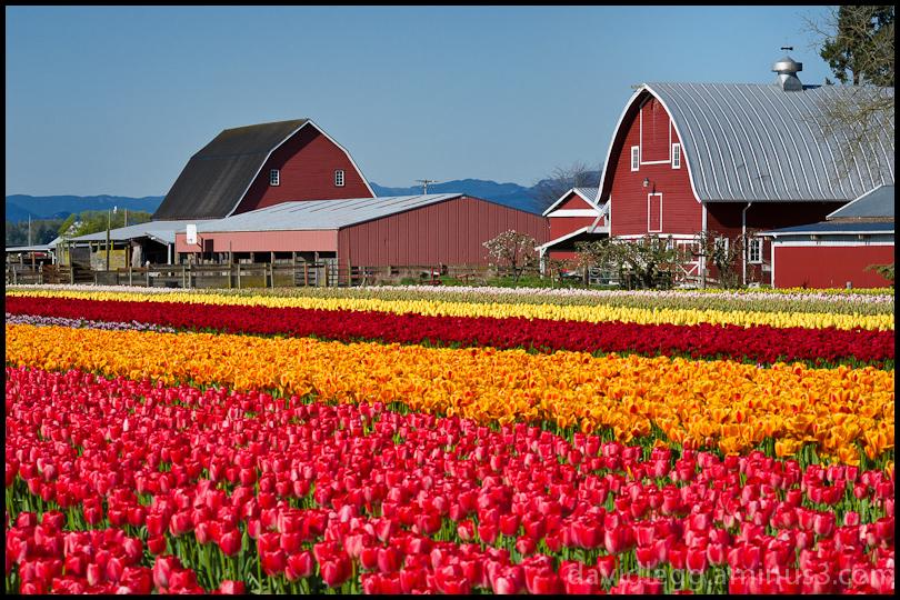 Tulip Farm, Skagit Valley, Washington