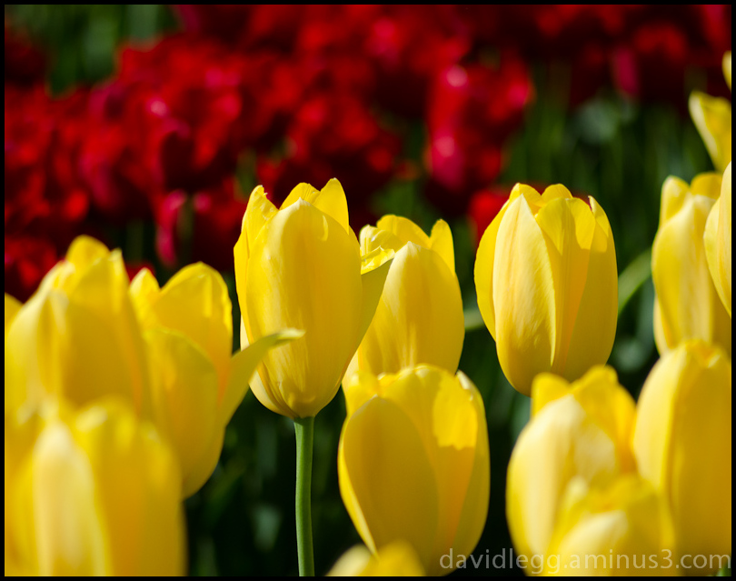 Yellow Tulips on Red