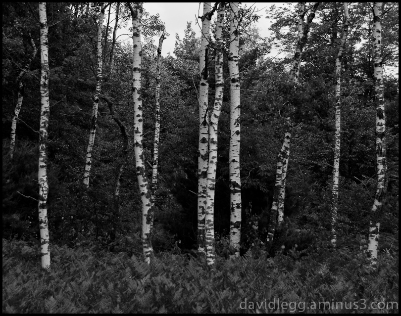 Benzie Birches