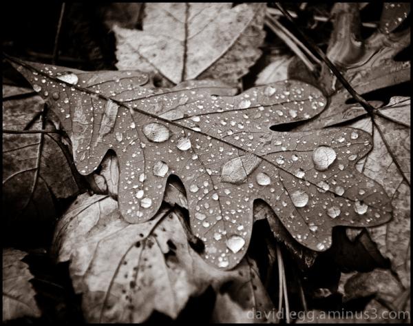 Leaves in the Rain: Oak