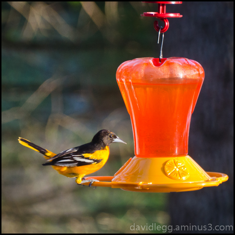 Oriole at Feeder