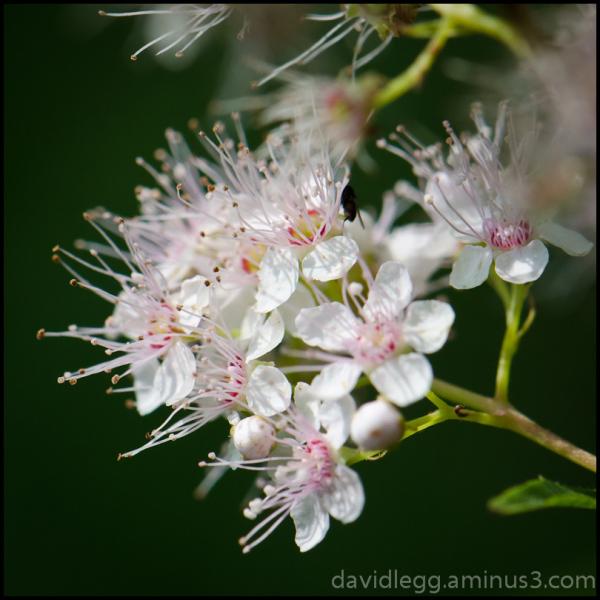 Meadow Sweet (Spirea Latifolia)