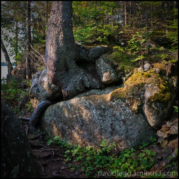 Tree and Rocks, Rock Harbor Trail, Isle Royale Nat