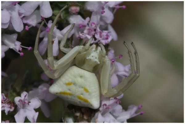 Araignée crabe 2