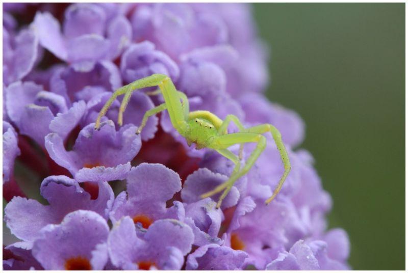 Araignée crabe 1