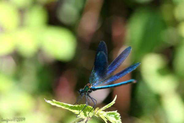 Demoiselle (Agrion splendens)