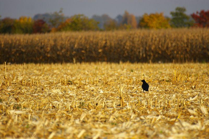 Champ de blé au corbeau