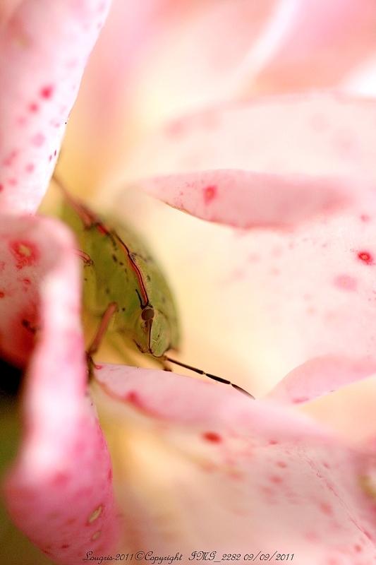 Rose de plaisir.
