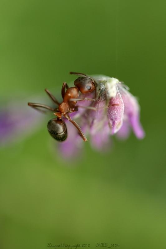 La fourmi.