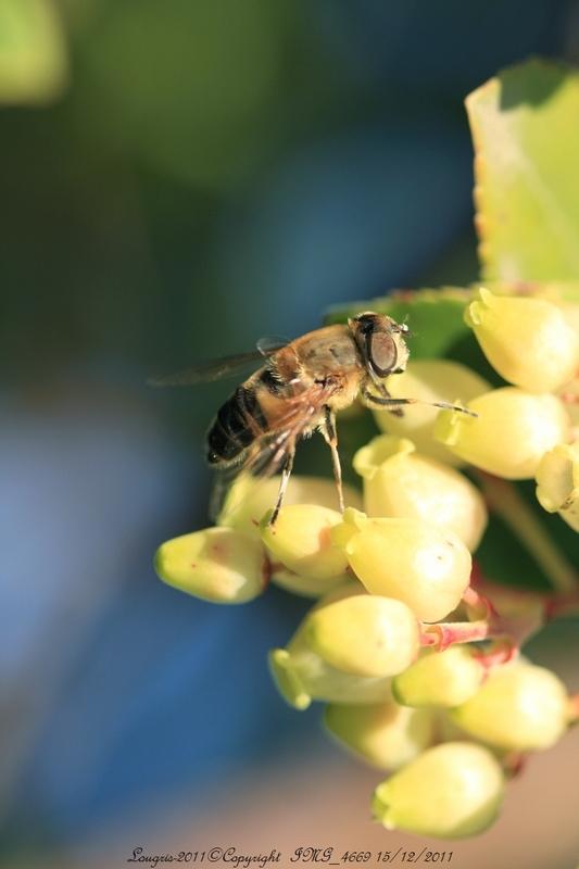 Mouche dans les Pots de miel.