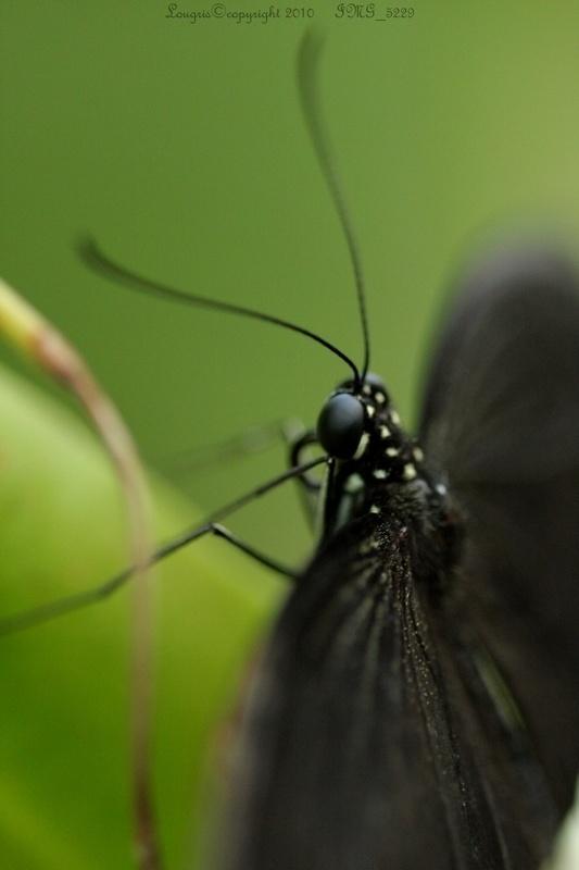 Noires ailes.
