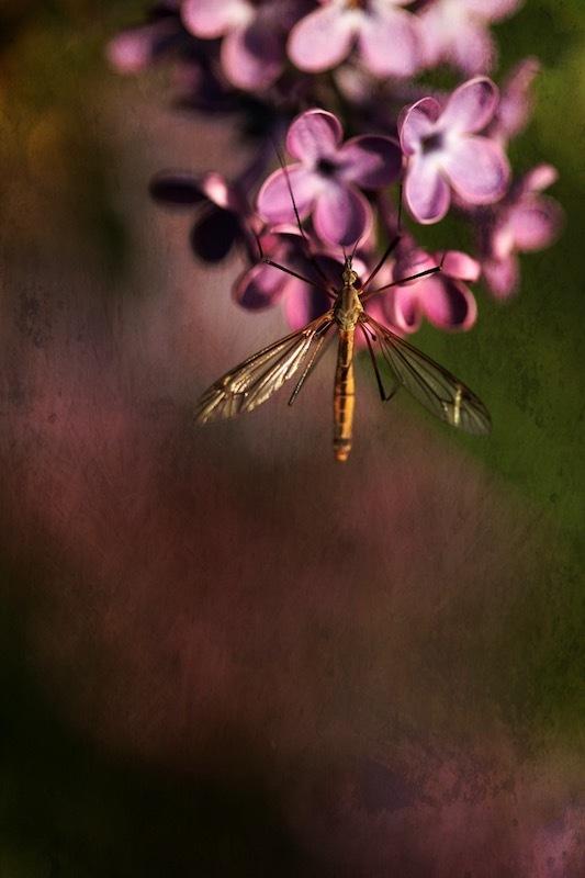 Sur le lilas.