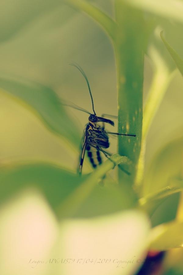 Mouche scorpion.