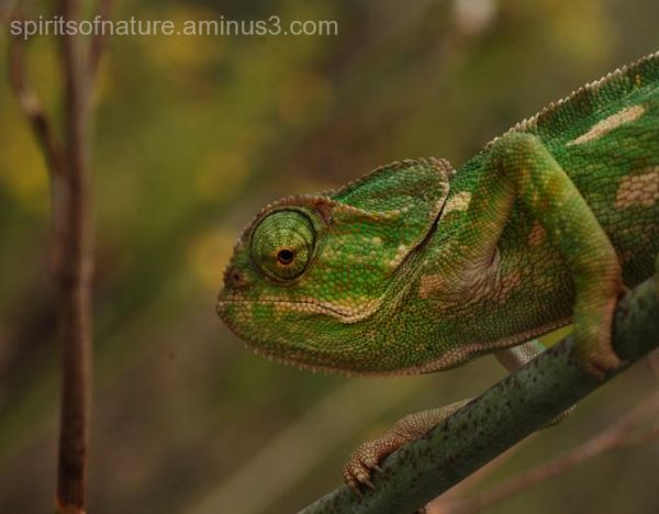 Chameleon  (Malta 1)