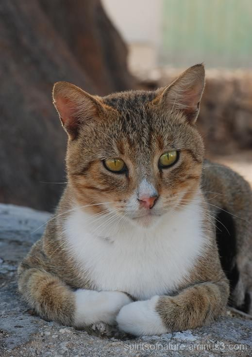 Wild Cat (Malta 11)
