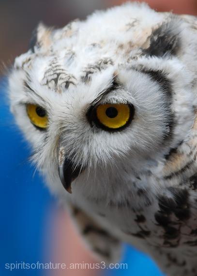 "Sneeuwuil ""Snow Owl"""