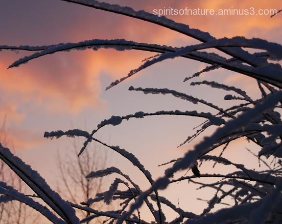 "Snowy branches ""Besneeuwde takken""(1)"