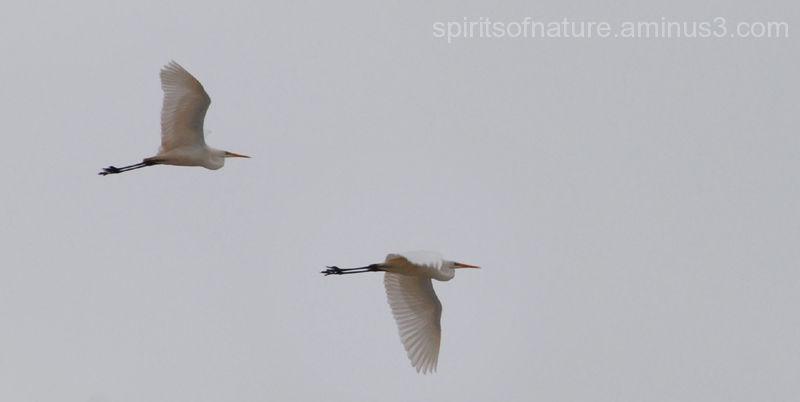 "Great white heron ""Twijzeler Mieden (3)"""