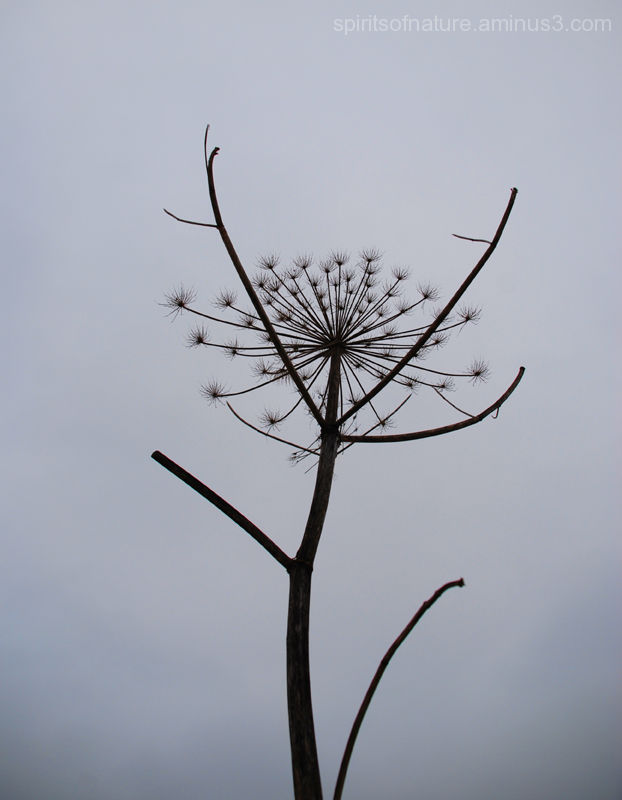 """Silhouet of a Giant Hogweed """"Twijzeler Mieden (4)"""